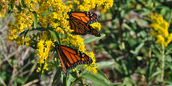 8-Monarch-close-DSC_0454-JTAhrens-660x330