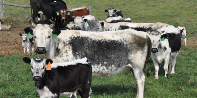 A farm saves rare American heritage cattle: Randall Linebacks