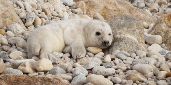 An Island Responds: Gray Seal Pup Sighting