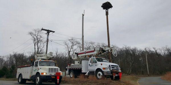 Ospreys Come Home to New Nesting Platforms