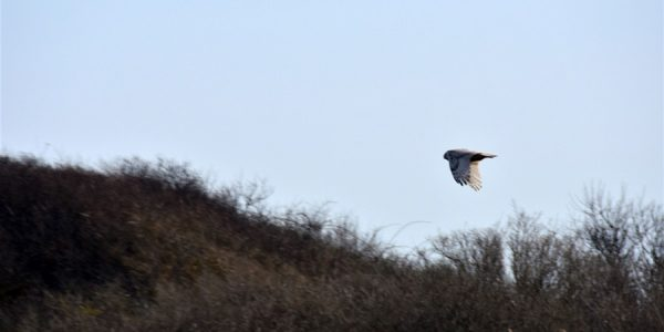 Snowy Owl Sighting