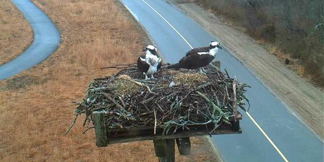 two-ospreys-on-nest-03_28_16-640x320