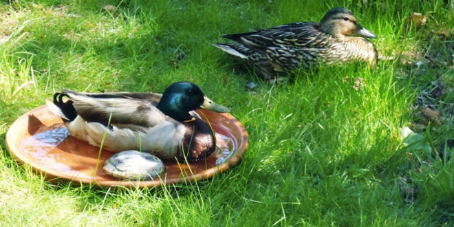 A mallard couple settles in for a break, with one using a bird bath for a seat. (Photo credit: Justine Kibbe)