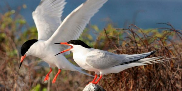 Museum Talk: Tern Discoveries on Great Gull Island