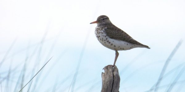 My Neck of the Woods: Spotted Sandpiper and Sweet Spots