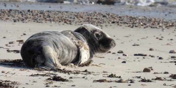 Gray Seal Pup Finds Sanctuary and Stewardship on Fishers Island