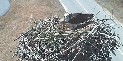 Museum's Osprey Cam is Back for 2017