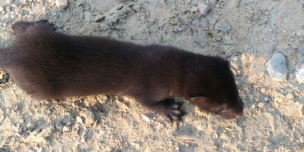 Museum Nature Notes: American Mink