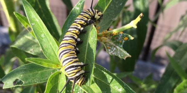 Caterpillars to Monarchs Progress