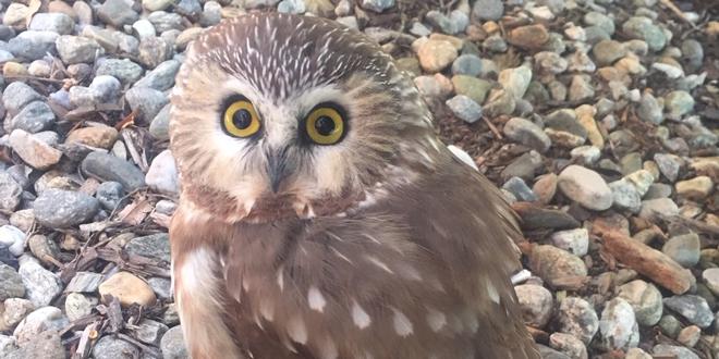 Rocky the Saw-whet Owl