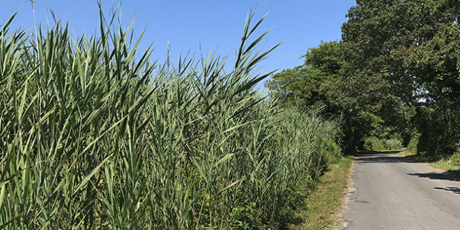 FI Conservancy: Standing Up to Phragmites