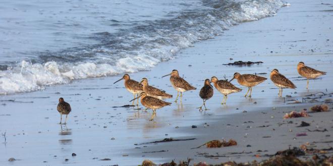 Shorebirds: Make Room for One More