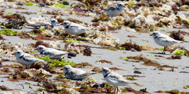 Pocketful of Piping Plovers