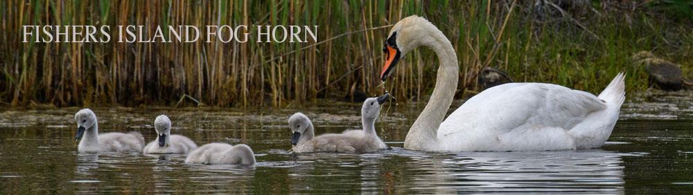 Swans-feeding-babies-Todd-McCormack-2021_9449-JUNE21_Mast-1000x282