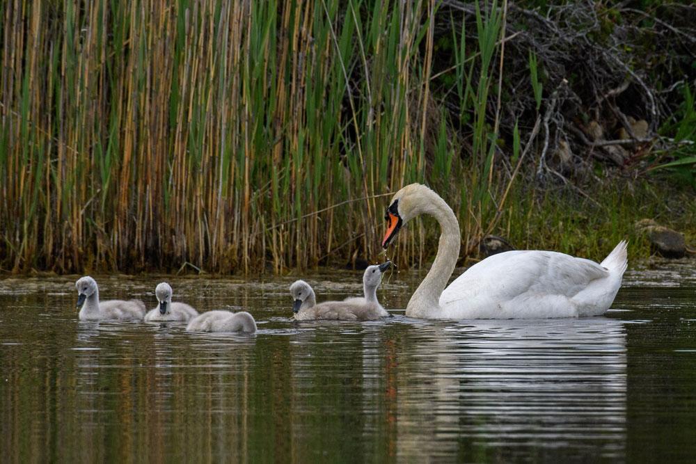 Swans-feeding-babies-Todd-McCormack-2021_JUN21_Mast-9449-1000x667